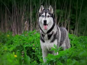 Husky con un ojo azul y otro marrón