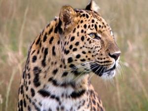 Cabeza de un hermoso leopardo