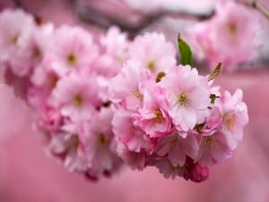 Rama cubierta de flores rosas