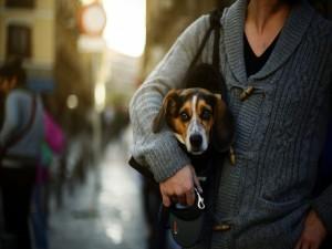 Perro paseando por la ciudad dentro de un bolso