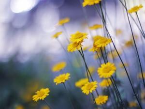 Camomilas amarillas