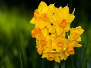 Gotas de agua sobre los narcisos amarillos