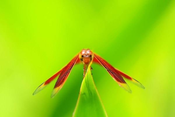 Libélula roja sobre una hoja