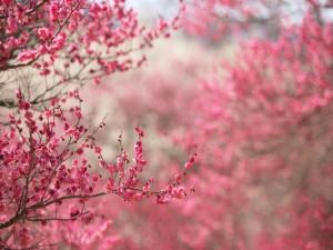 Cerezos al inicio de la floración