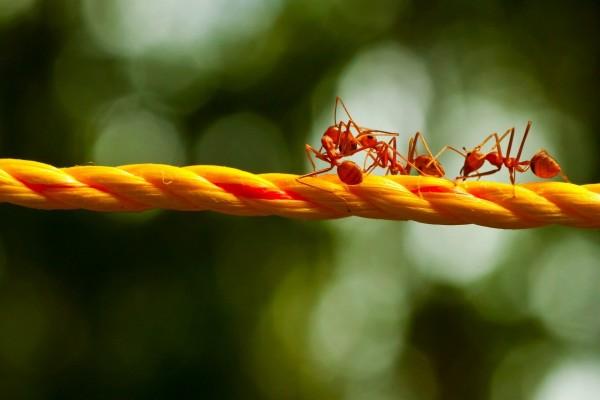 Hormigas rojas sobre una cuerda