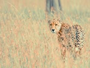 Un guepardo mirando con atención