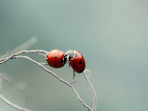 Dos mariquitas sobre unas finas ramas