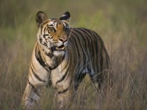 Un joven tigre intentando cazar