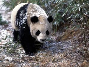 Oso panda en un lugar frío