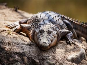 Un cocodrilo caminando fuera del agua