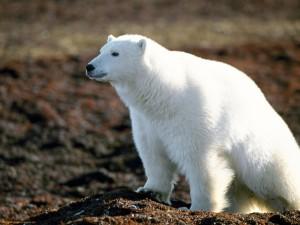 Un hermoso oso polar