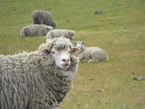 Ovejas con mucha lana