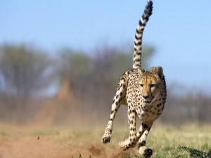 Un guepardo a la caza de su presa