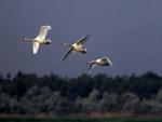 Tres cisnes volando