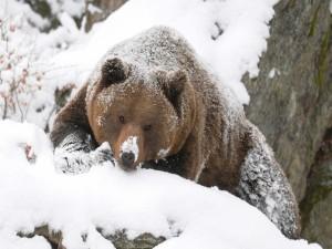 Un oso pardo en la nieve