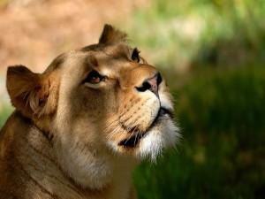 La cara de una hermosa leona
