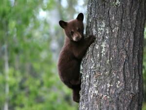 Osezno trepando a un árbol