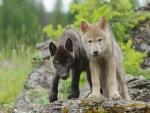 Dos jóvenes lobos