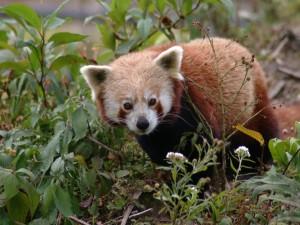 Un pequeño y adorable panda rojo