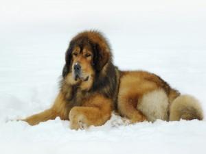 Un gran perro tumbado sobre la nieve