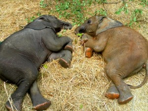 Dos pequeños elefantes tumbados sobre la paja