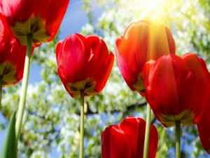 Tulipanes rojos iluminados por el sol