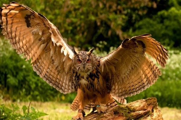 Búho con las alas desplegadas