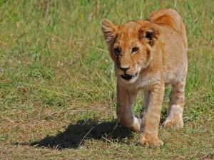 Cachorro de león caminando