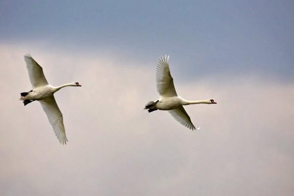 Dos cisnes volando