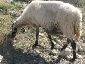 Una oveja pastando