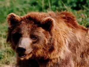 Gran oso pardo