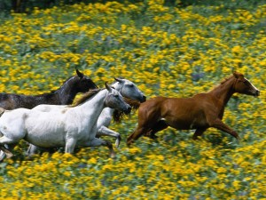 Caballos corriendo por un campo con flores amarillas