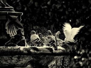 Palomas refrescándose en una fuente