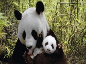 Osa panda aseando a su pequeño