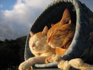 Gatos en una canasta tomando el sol