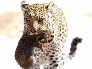 Hembra de leopardo con su pequequeño cachorro en la boca