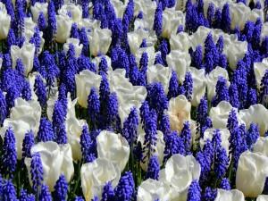 Tulipanes blancos entre jacintos color púrpura