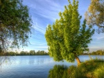 Árbol inclinado hacia el lago