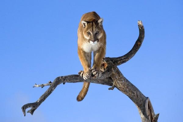 Un puma en lo alto de un tronco