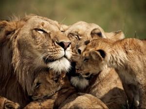 Una amorosa familia de leones