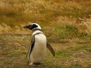 Un pingüino sobre la hierba