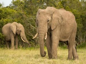Dos elefantes africanos