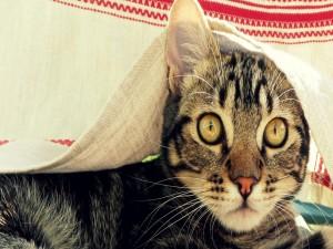 Gato bajo un mantel