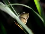Mariposa sobre una brizna