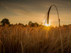 Amanece sobre un campo de trigo