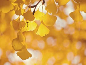 Hojas amarillas en un rama