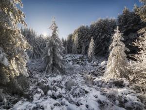 Rayos de sol sobre unos pinos cubiertos de nieve