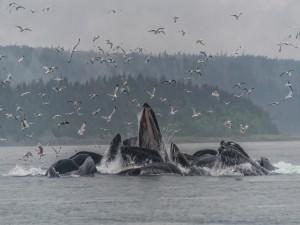 Gaviotas volando sobre ballenas jorobadas en un día lluvioso