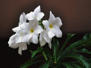 Flores blancas en la planta