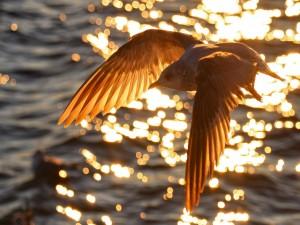 Gaviota volando sobre el agua